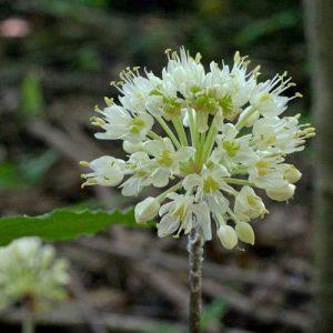 Allium-tricoccum-flowers