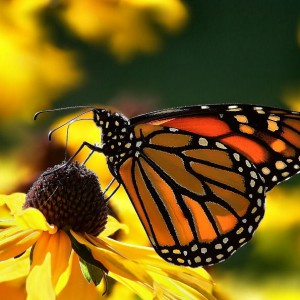monarch-butterfly-2-flower