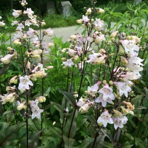 penstemon_digitalis1