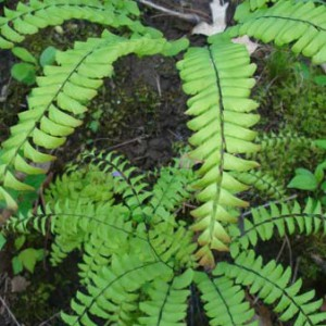 Adiantum-pedatum-Maidenhair-fern