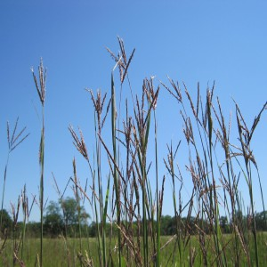 Big-Bluestem_A