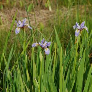 Blue-Flag-Iris_A