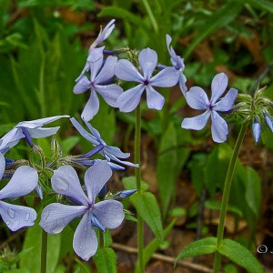Blue-or-Woodland-Phlox_A