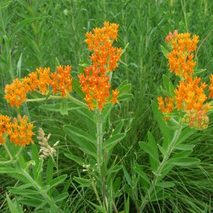 Butterfly-Weed_A
