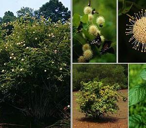 Buttonbush-Cephalanthus-occidentalis