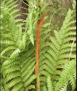 Cinnamon-Fern-Osmunda_cinnamomea