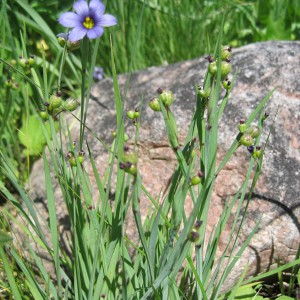 Common-Blue-eyed-Grass_A
