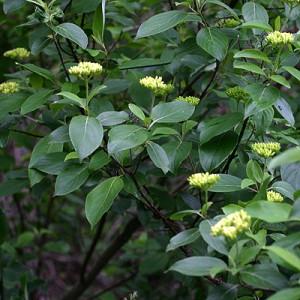 Cornus-obliqua-amomum-PR-habit