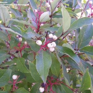 Gray-Dogwood_Cornus-racemosa