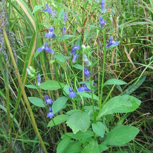 Great-Blue-Lobelia_A