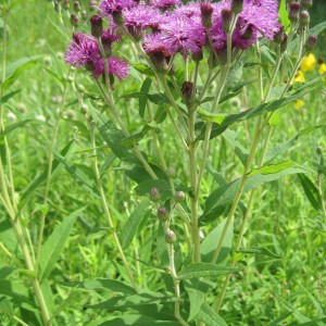 Ironweed_A