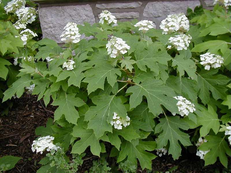 Hydrangea quercifolia oak leaf hydrangea citizens for for Hydrangea quercifolia