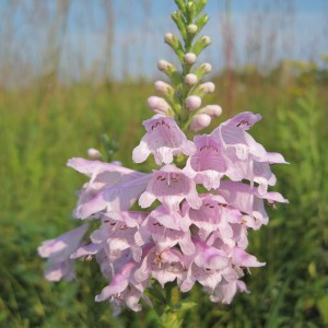 Obedient-Plant_A
