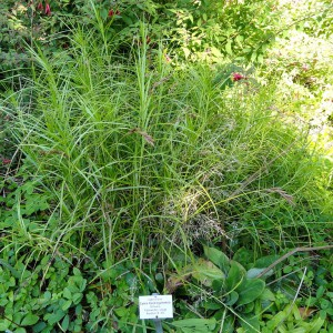 Palm-Sedge_Carex_muskingumensis