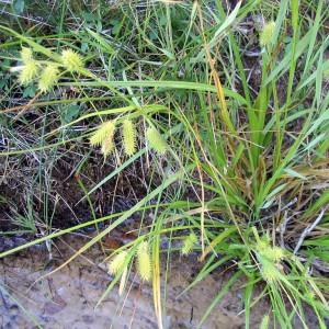 Porcupine-sedge_Carex_hystericina