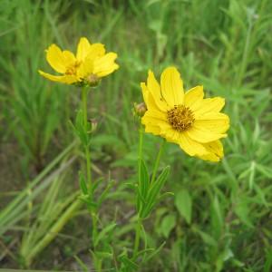 Prairie-Coreopsis_A