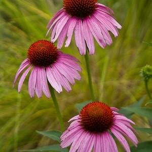 Purple-Coneflower_A