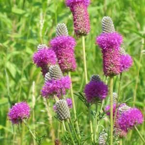 Purple-Prairie-Clover_A