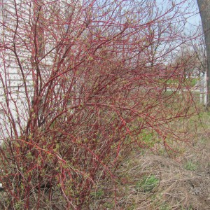 Red-Osier-Dogwood_A