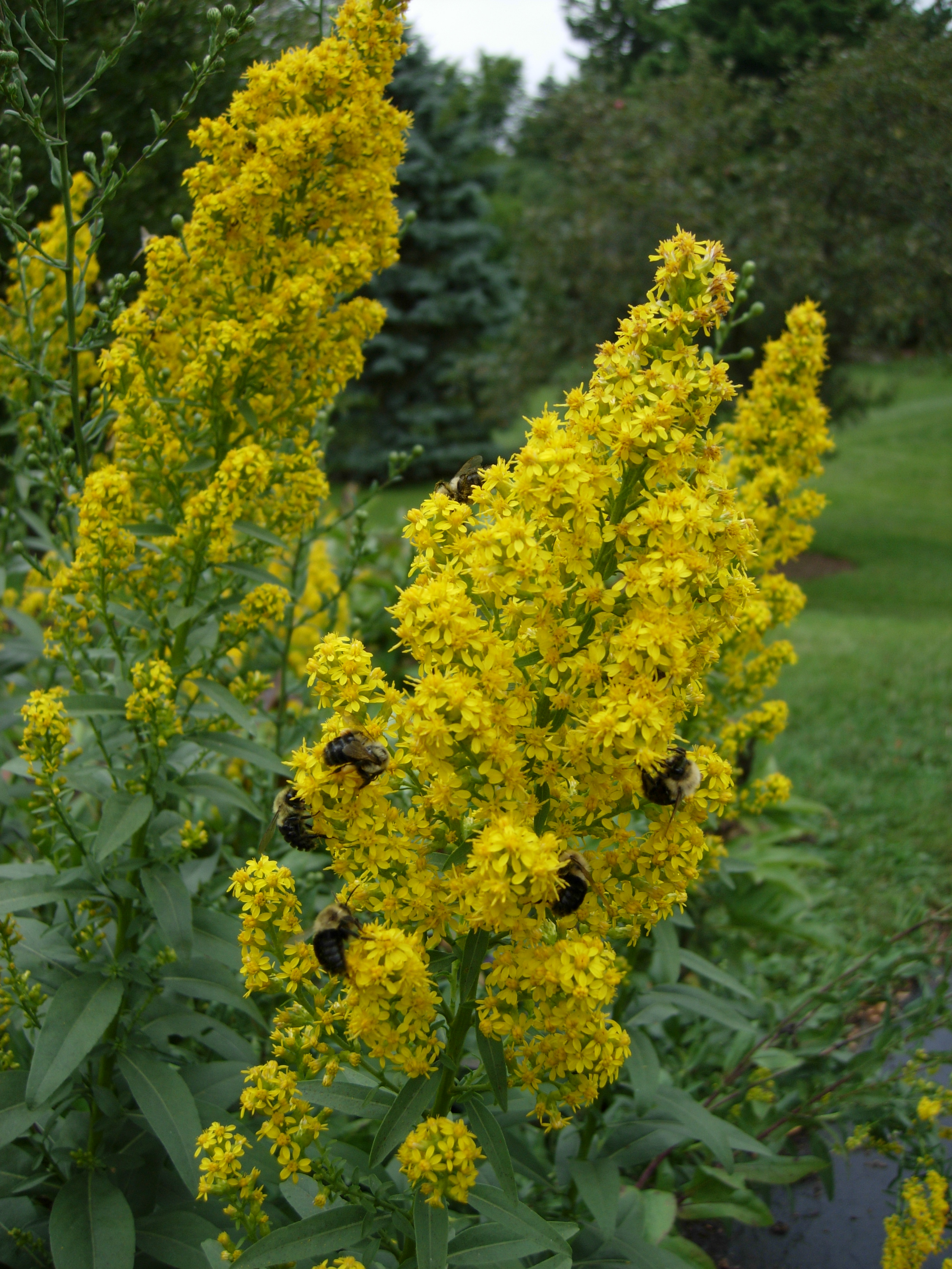 solidago speciosa showy goldenrod   citizens for