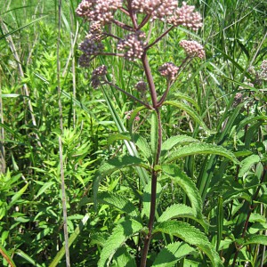 Spotted-Joe-Pye-Weed