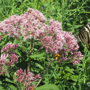 Sweet-Joe-Pye-Weed_A
