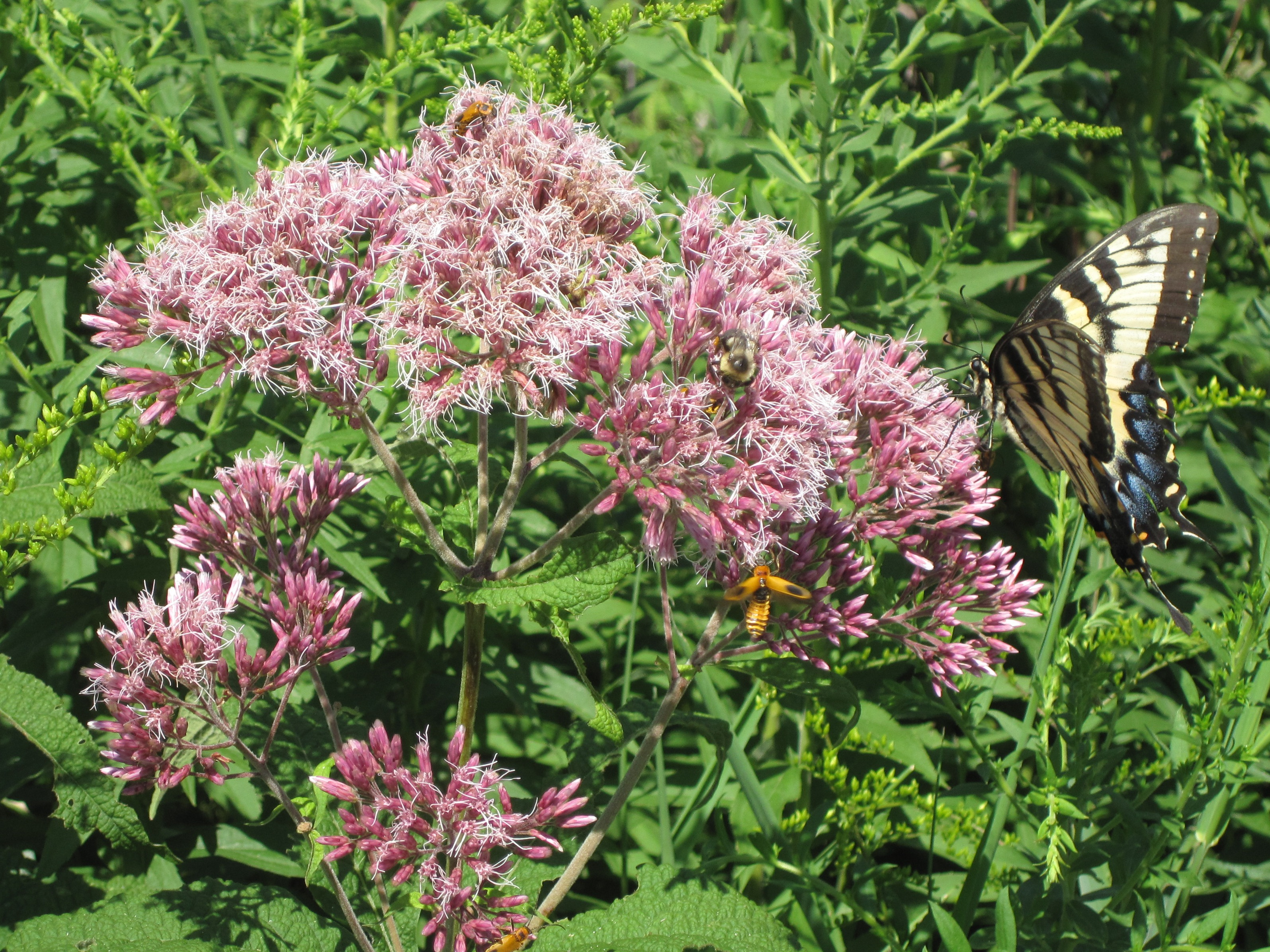 Eupatorium purpureum sweet joe pye weed citizens for for Joe pye weed