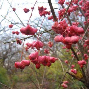 Wahoo_Euonymus_atropurpureus_fruit