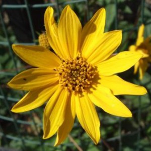Western-Sunflower_Helianthus_occidentalis