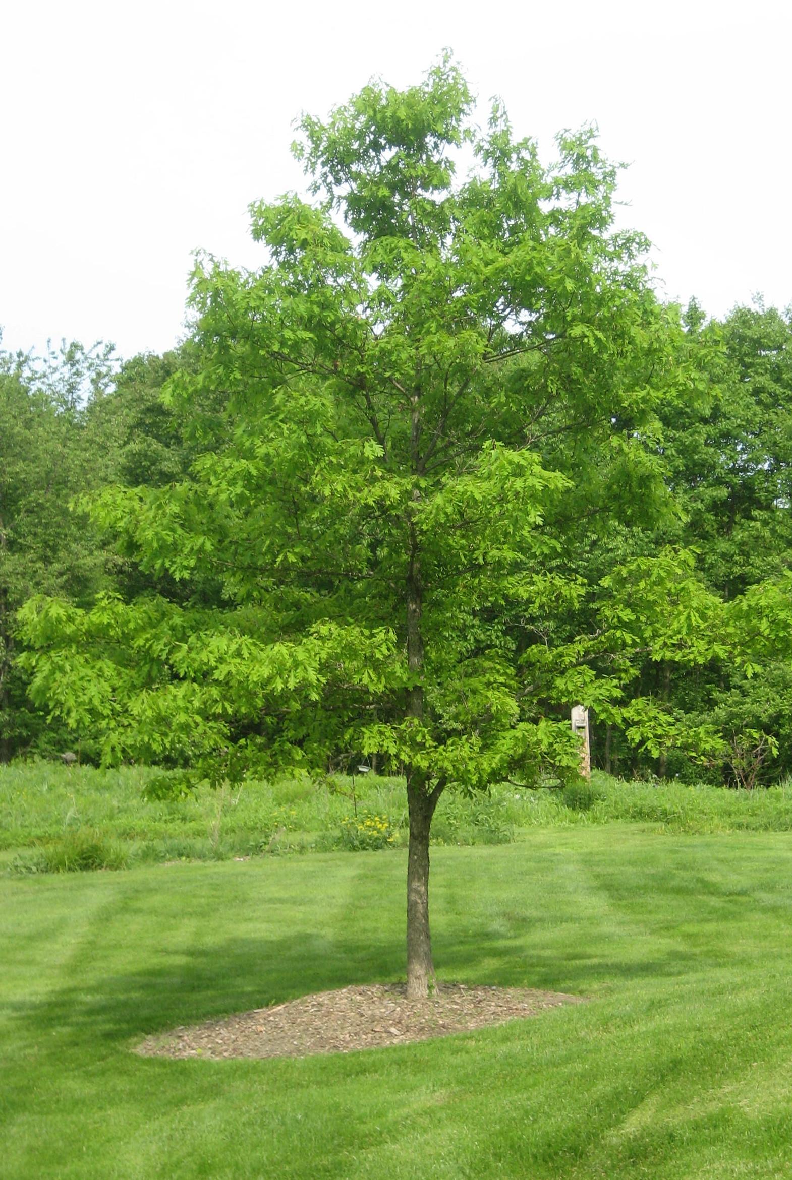 Quercus alba (White Oak) - Citizens for Conservation's ...  Quercus alba (W...
