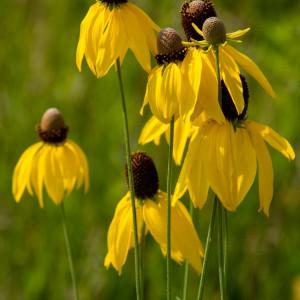 Yellow-Coneflower_A