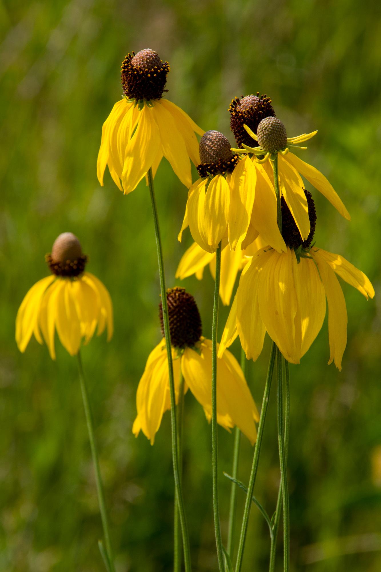 Ratibida Pinnata Yellow Coneflower Citizens For Conservations