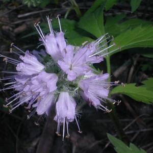 hyrdrophyllum-viginianum-A