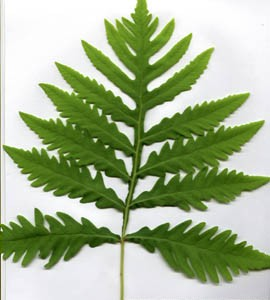 sensitive-fern