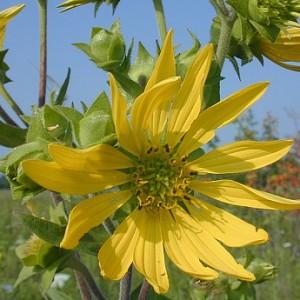 silphium-integrifolium-A