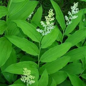 smilacina-racemosa