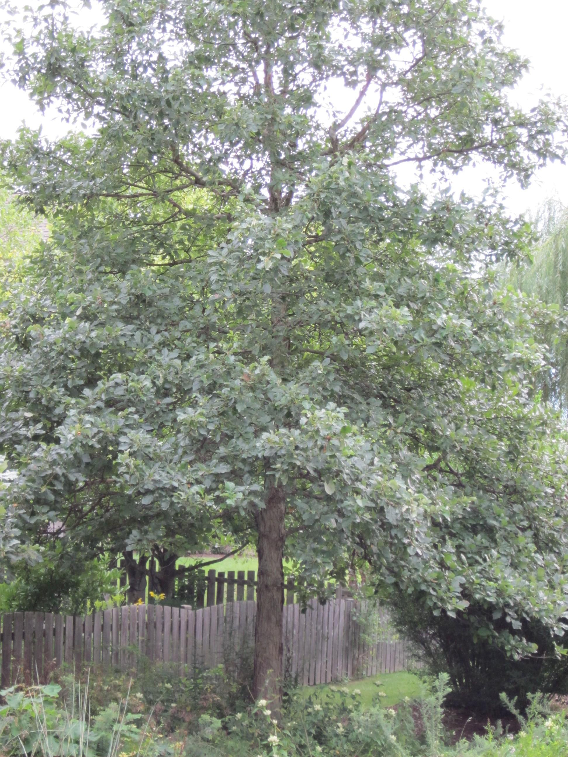 Quercus bicolor swamp white oak citizens for