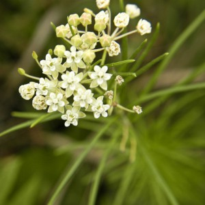 whorled_milkweed