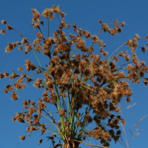 woolgrass1
